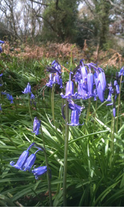 Bluebells in Borthwood by Philip Bell